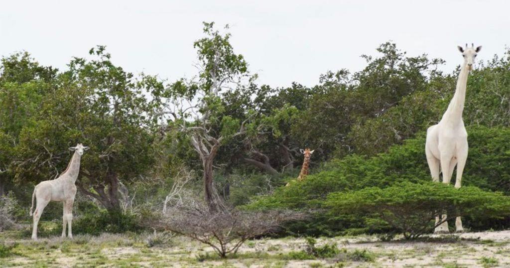 jirafas blancas