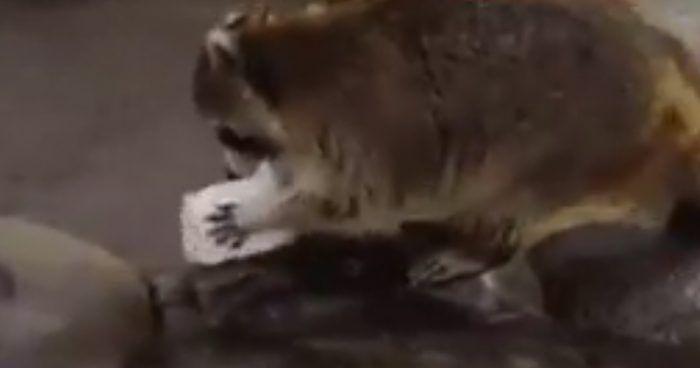 mapache algodon dest