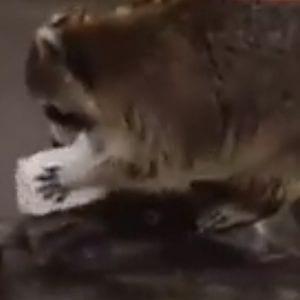 Un mapache intenta lavar algodón de azúcar