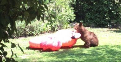 oso colchoneta