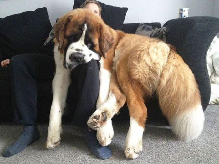perros-creen-son-cachorros-04
