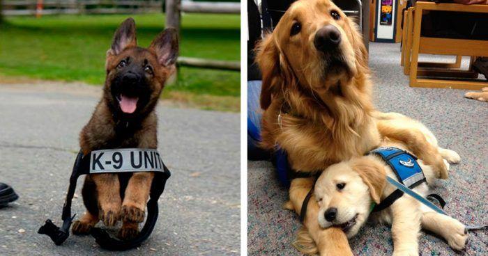 cachorros perros policia pator aleman golden retriever grande pequeno