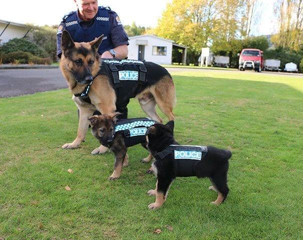 3 perros policia pastor aleman chaleco hombre