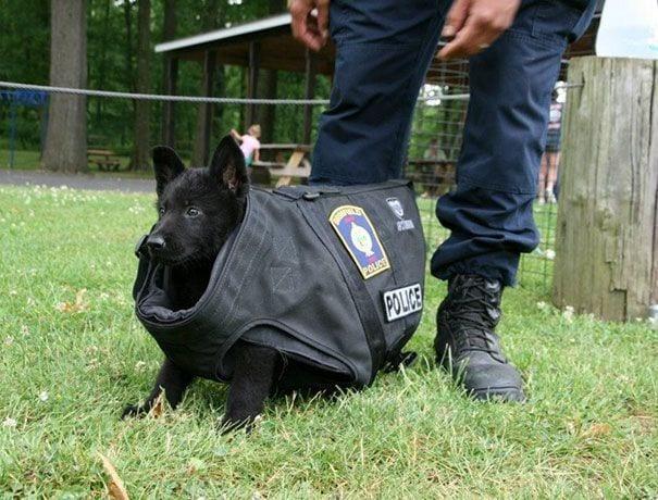 perro policia pequeno chaleco grande pies hombre