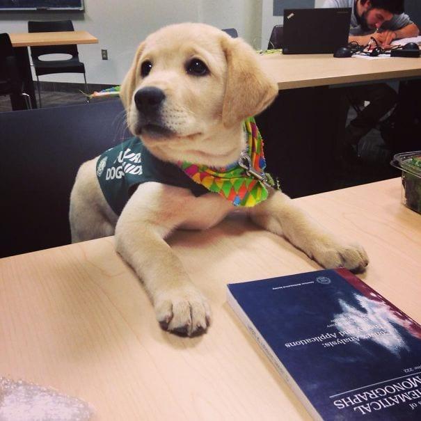 cachorro golden retriever policia postura leer mesa libro