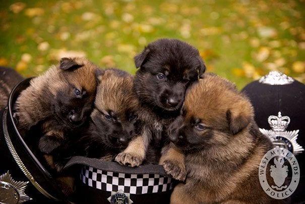 4 cachorros perros policia encima sombreros