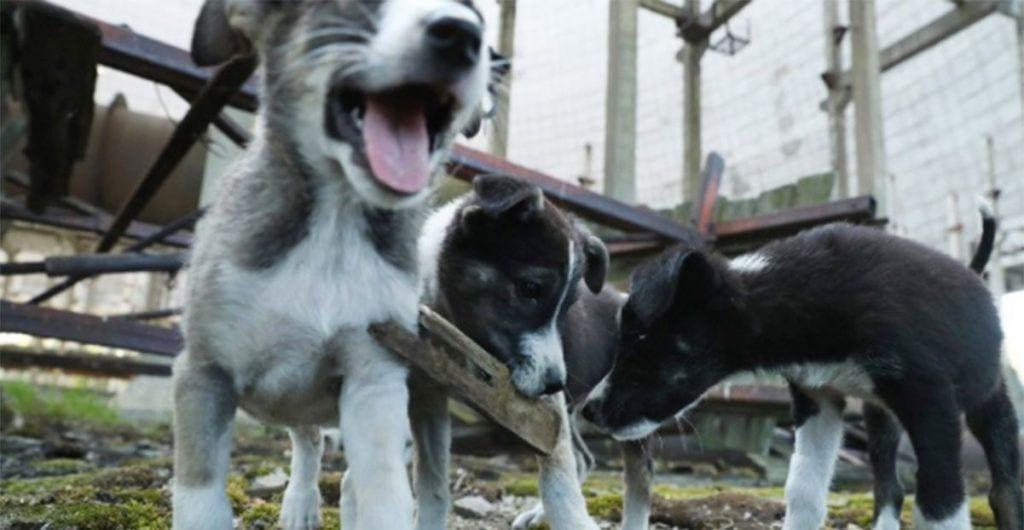 Estos cachorros de Chernóbil se encuentran en grave peligro debido a la radioactividad