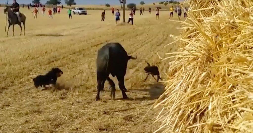perros-toro-dest