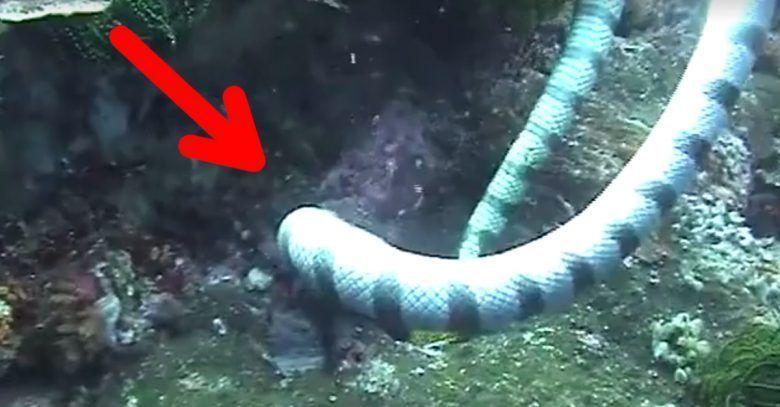 serpiente-morena