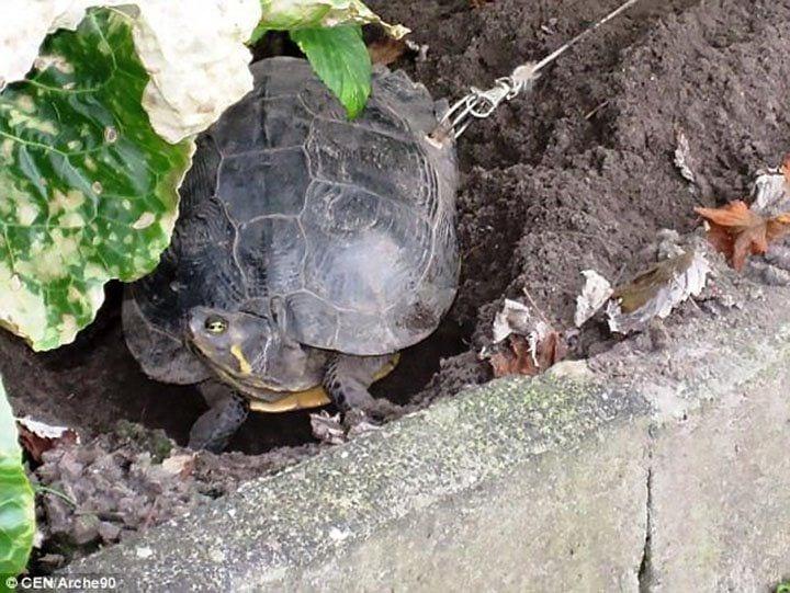 tortuga-encadenada-02