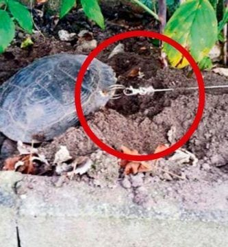 tortuga encadenada dest