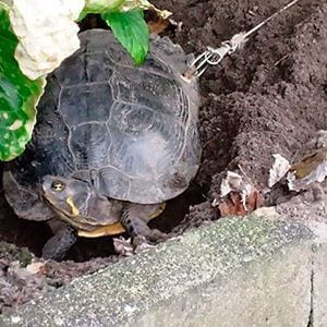 Dejan a su tortuga atada a un árbol