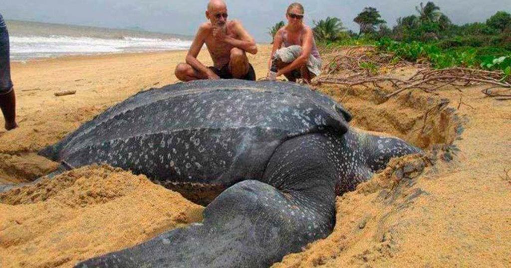 Aparece muerta tortuga de 200 kilos en una playa catalana