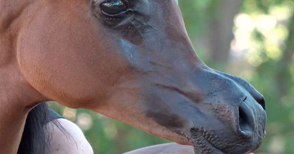 Se dispara la tendencia de criar y experimentar con caballos para que parezcan animados