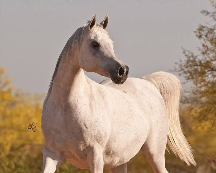 caballos-manipilados