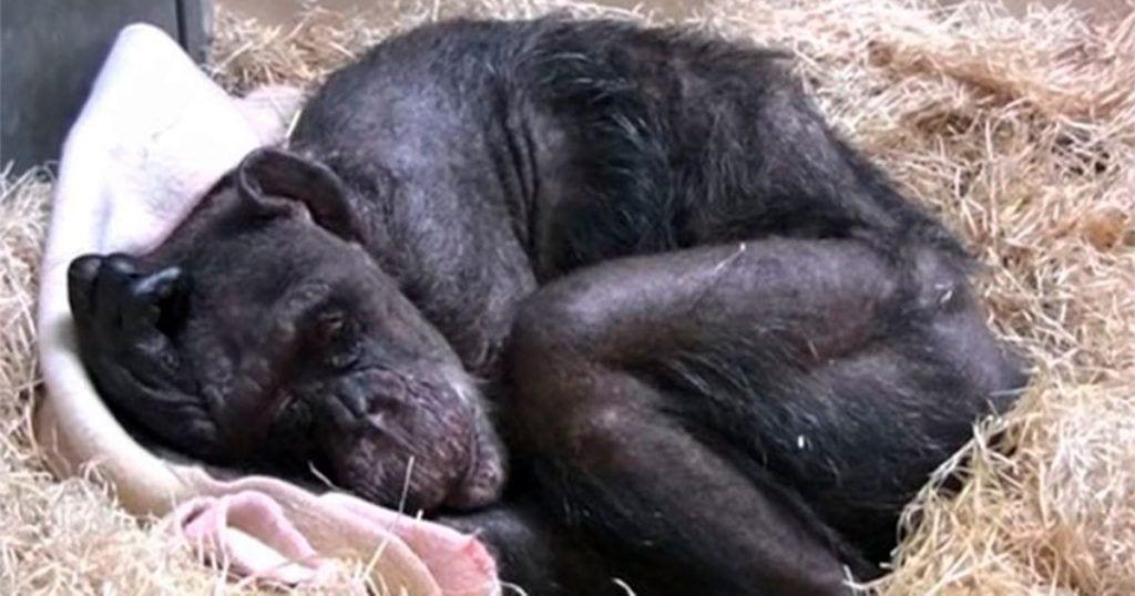 Esta chimpancé enferma recibe la visita de un viejo amigo que le alegró sus últimos días