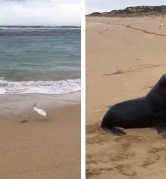 foca pescado