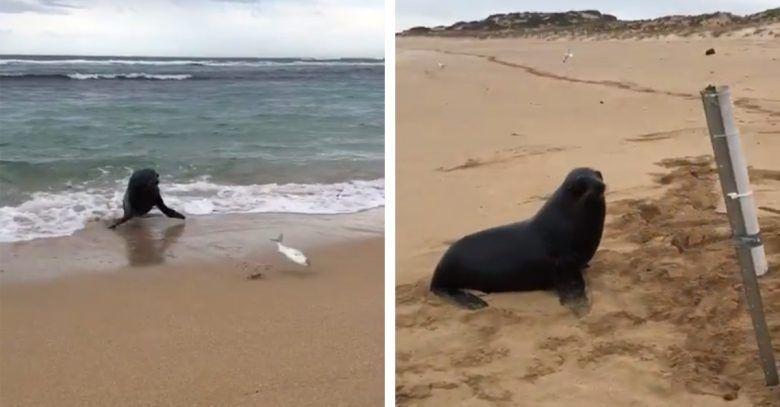 foca-pescado