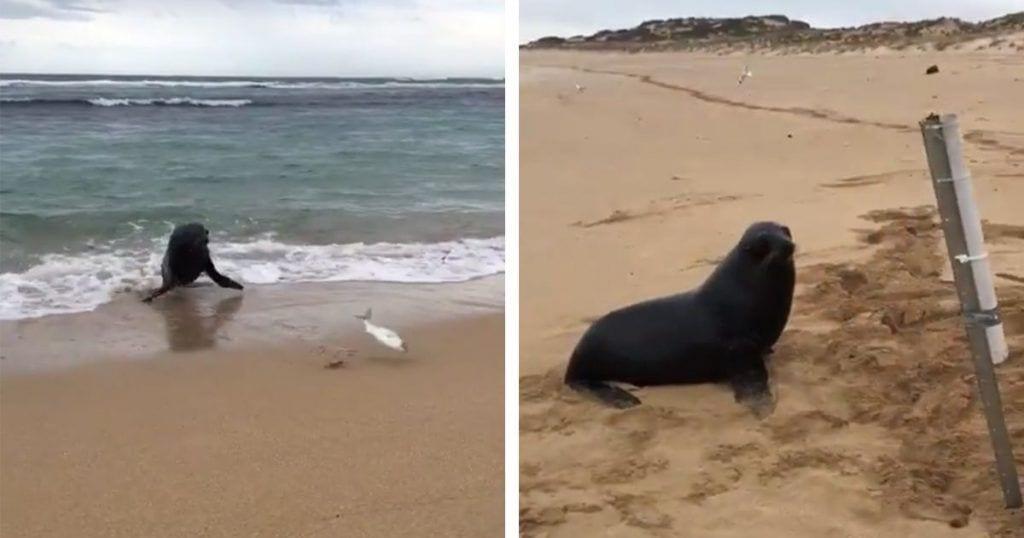 Una foca persigue un pez que ha sido pescado