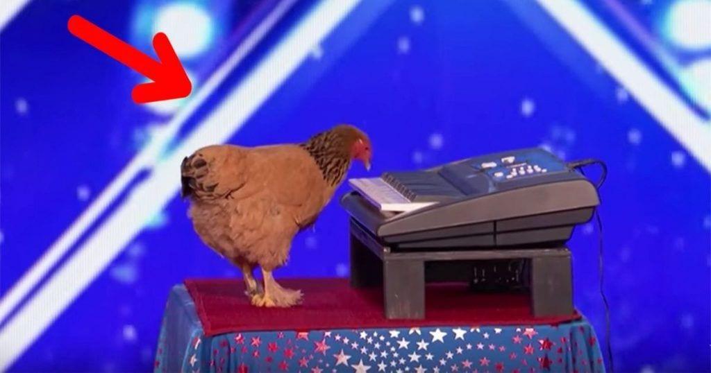 Esta gallina demuestra su talento con el piano en las audiciones de America's Got Talent