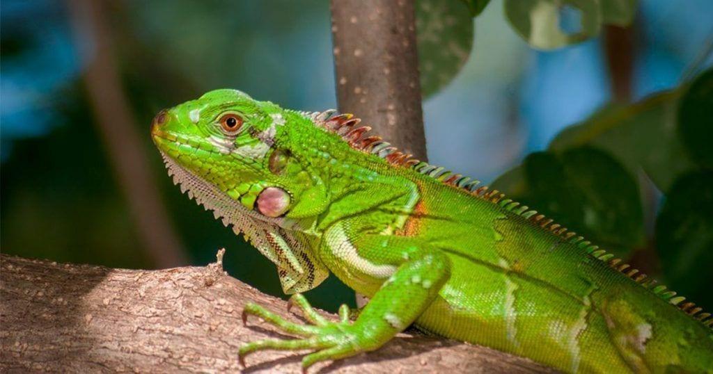 El programa Top Chef de El Salvador envuelto en polémica por cocinar iguanas