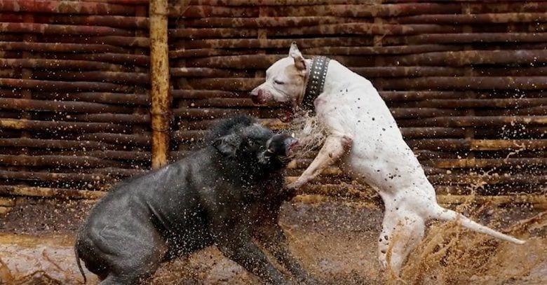 peleas-perros-jabalies