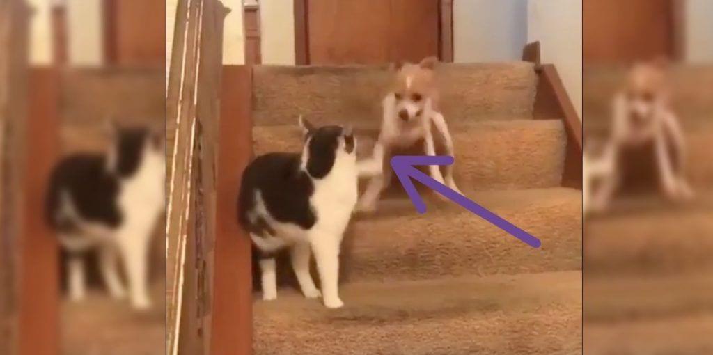Gato pulsa botón de turbo de perro