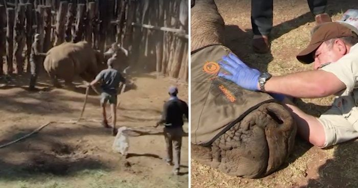 rinoceronte cuerno saving survivors dest