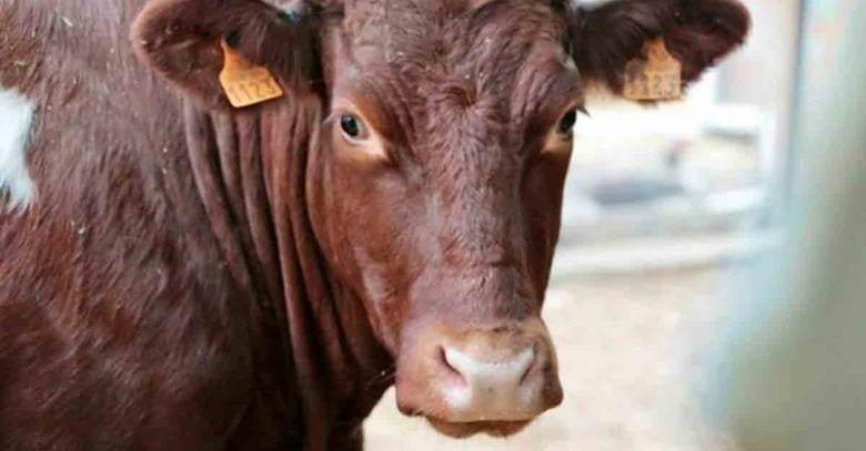 vaca-cornette