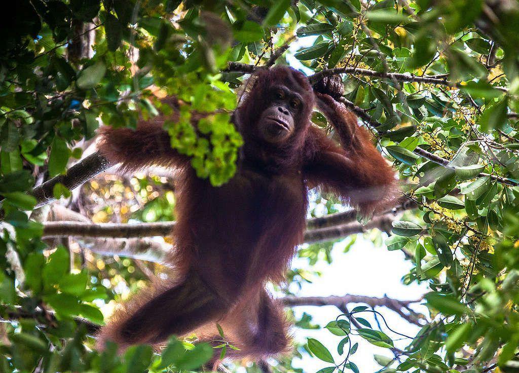 Orangutanes al borde de la extinción debido al aceite de palma 01