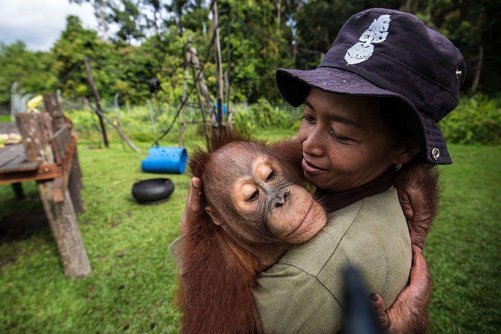 Orangutanes al borde de la extinción debido al aceite de palma 02