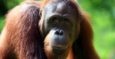 Orangutanes extincion aceite de palma 00