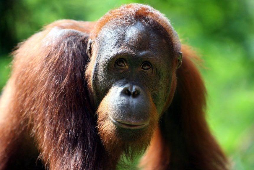 Orangutanes al borde de la extinción debido al aceite de palma 00