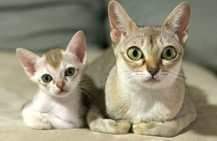 gatos singapura