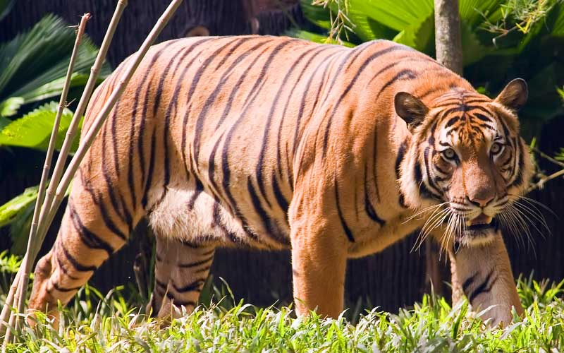 Tigre Malayo
