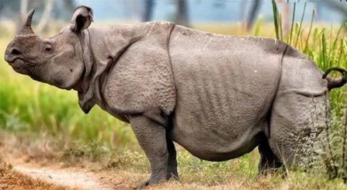 rinoceronte java 1 e1553354201255