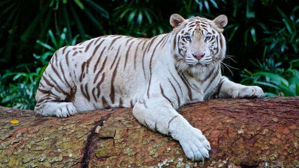 tigreblanco