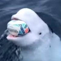 beluga rugby