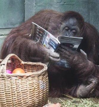 sandra orangutana