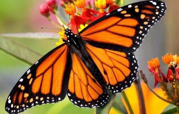 Mariposas monarca ¡En peligro de extinción!