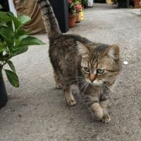 Se llama Romeo ¡El primer gato con marcapasos en Colombia!