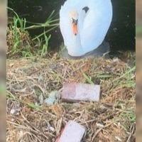 Adolescentes destrozan sus huevos y el cisne muere de tristeza