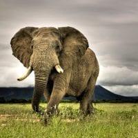 El gigante de la selva el elefante scaled