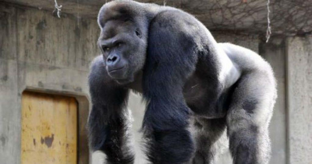 El mundo de los gorilas scaled