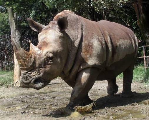 Las maravillas de un animal majestuoso el rinoceronte