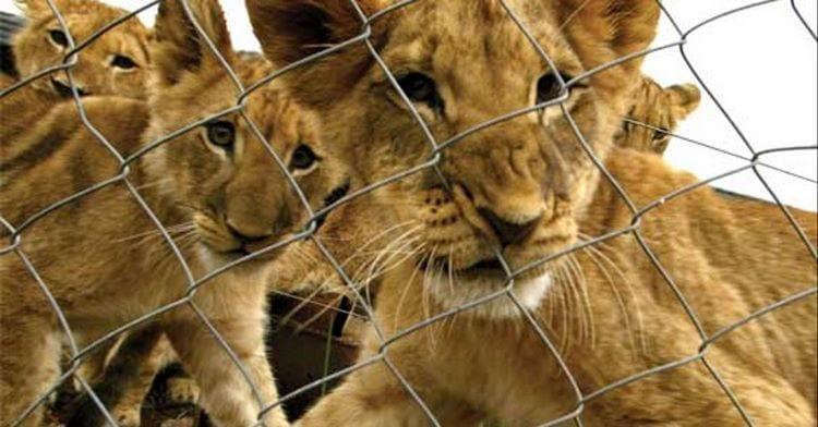 Leones criados para morir a manos de turistas