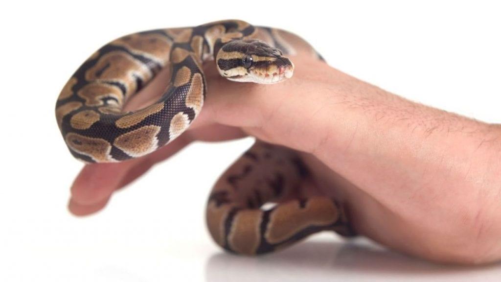 Una serpiente puede ser o no venenosa scaled