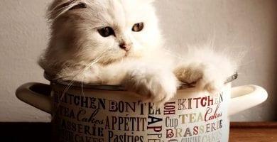 gato persa portada
