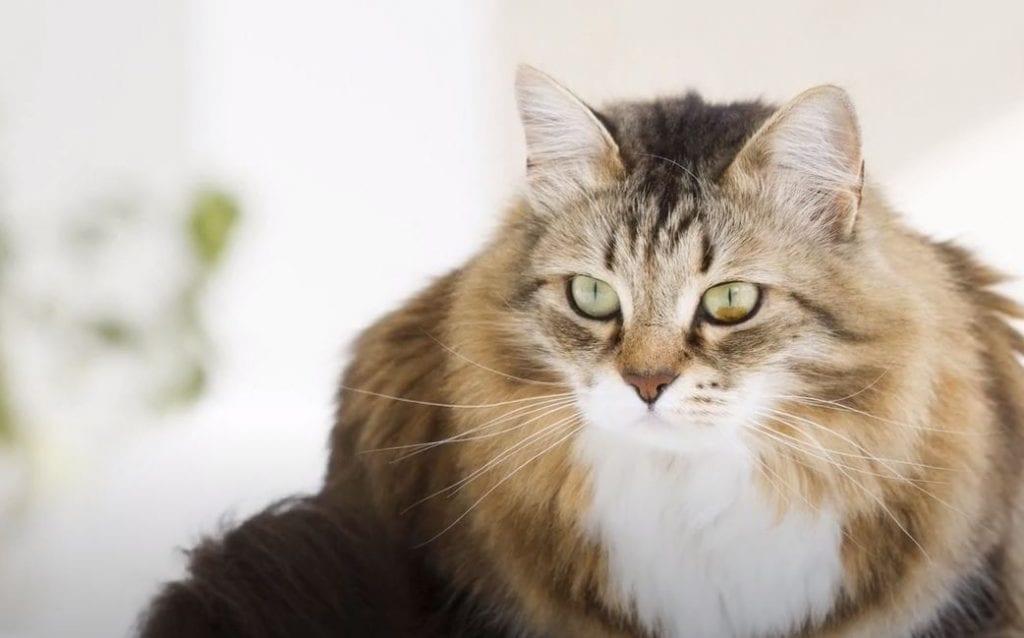gato siberiano portada scaled