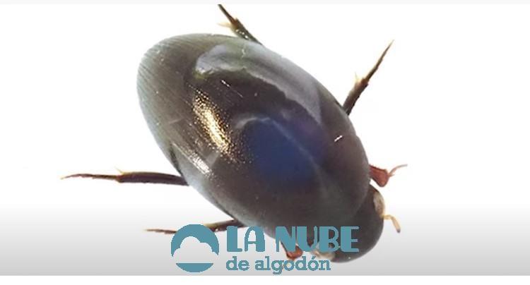 Conoce al escarabajo que sobrevive y sale por el ano tras ser engullido